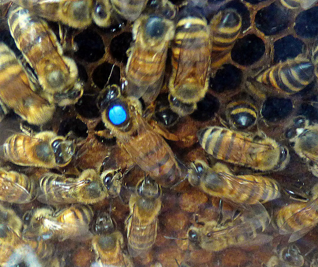 Neonicotinoid pesticides severely affect honey bee queens