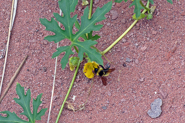 Exposure to a neonicotinoid pesticide alters the interactions between bumblebees and wild plants