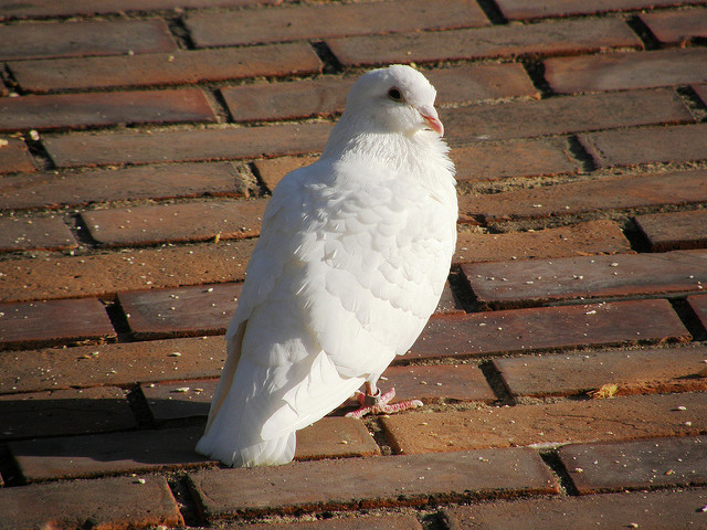 Urban pigeons might be a good way to detect lead and other toxic compounds in cities