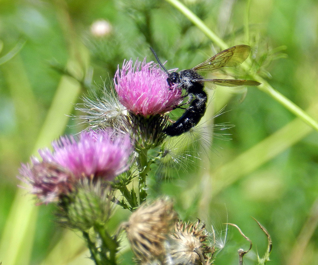 Climate change impacts on bumblebees converge across continents, study