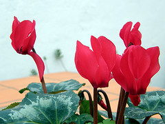 Poisonous Plants for pet (From ASPCA)